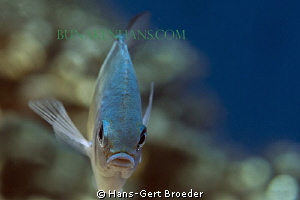Monocle Bream